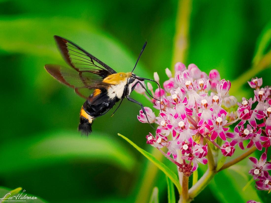 Kenilworth Park Clearwing Moth