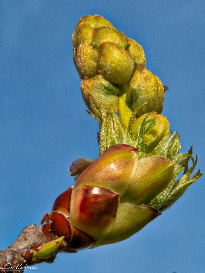 Sugargum Tree Leaf