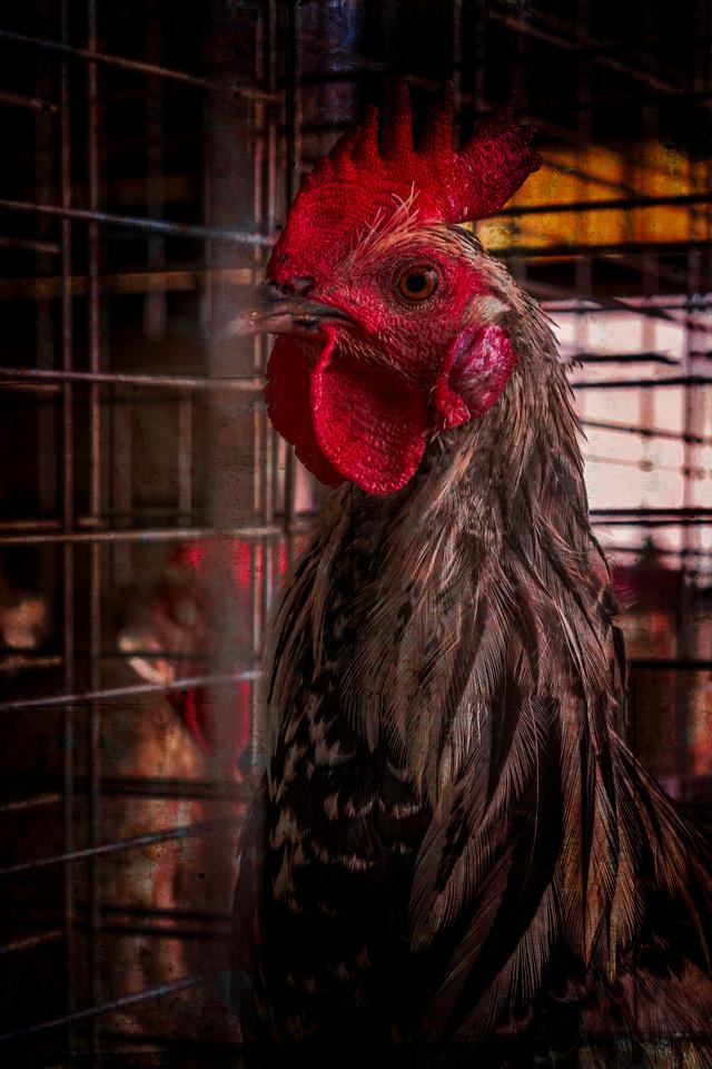 Champion Chicken?