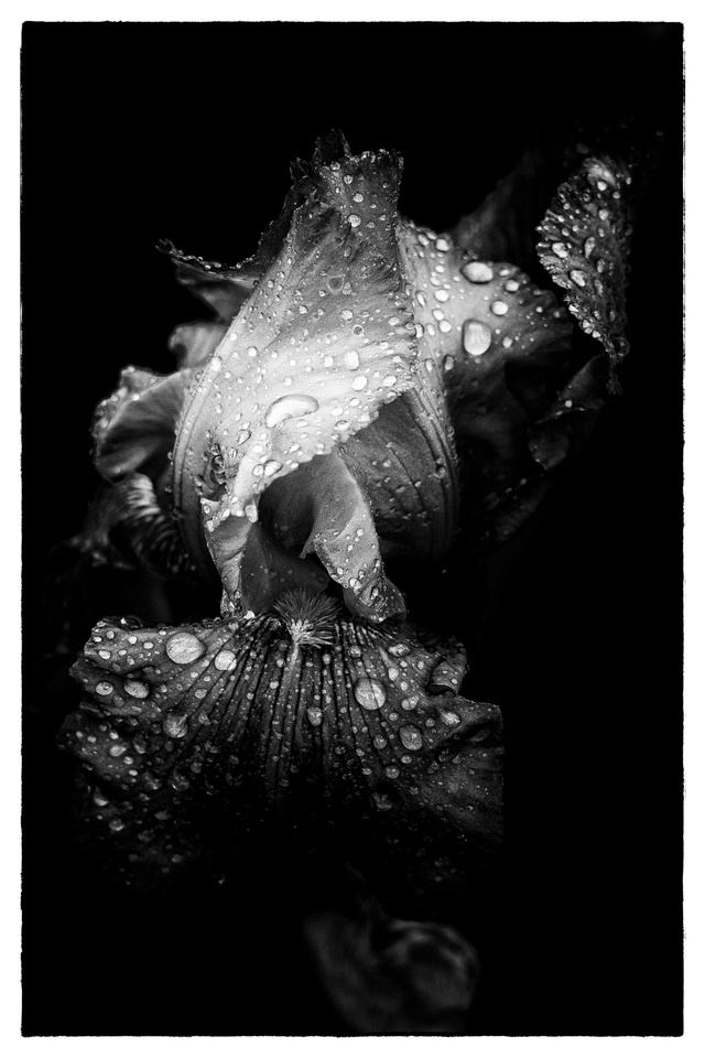 Flower petals with raindrops. B&W conversion