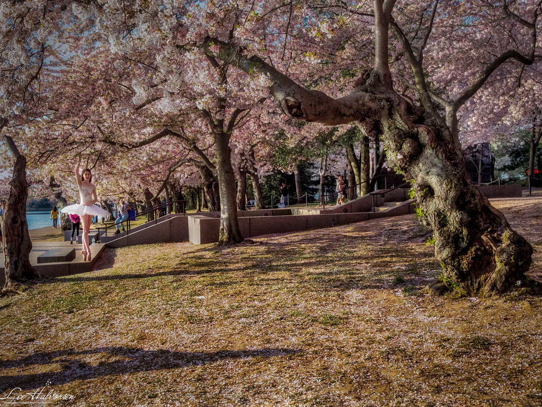 Cherry Blossom Ballerina