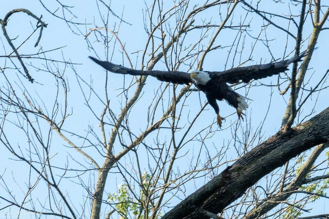 DC Arboretum Eagle