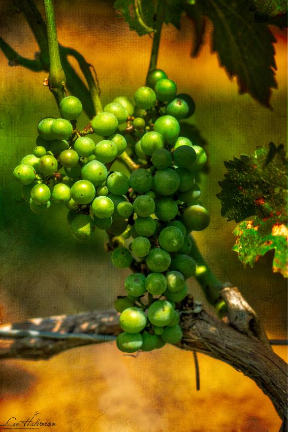 Young grapes at Paradise Springs Winery in Clifton, VA