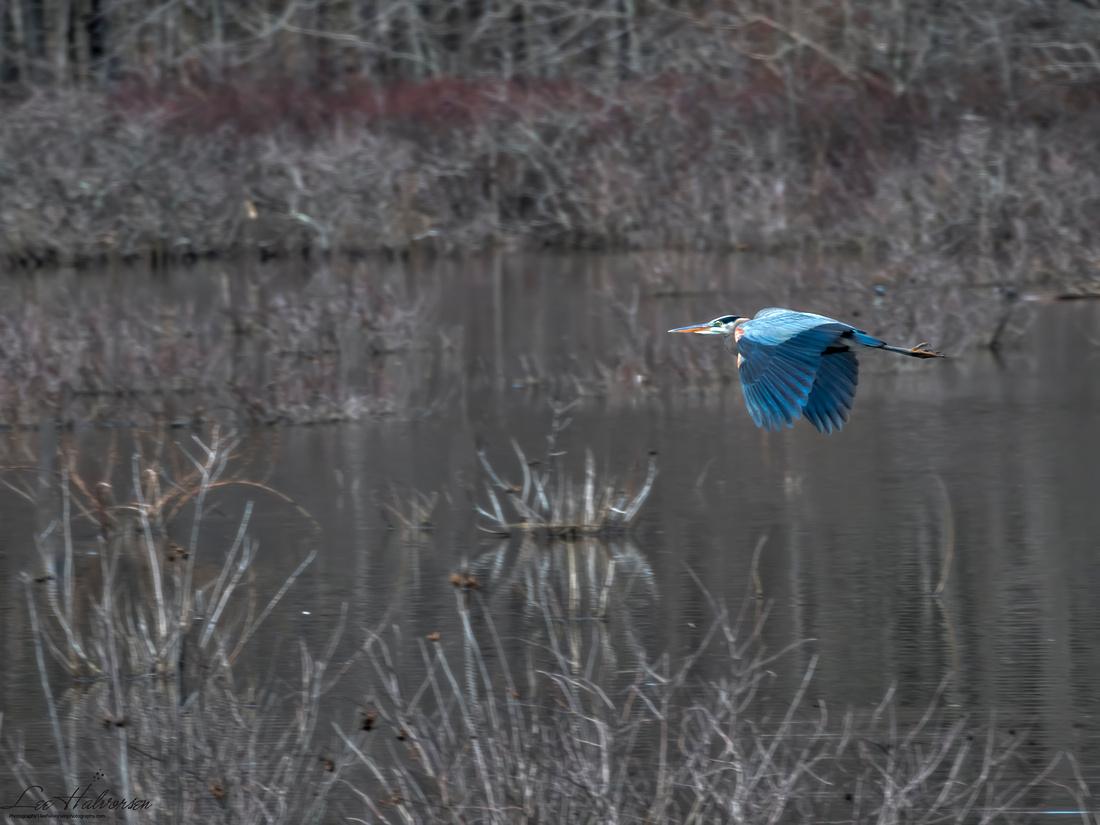 Heron in Flight, Huntley Meadows Park